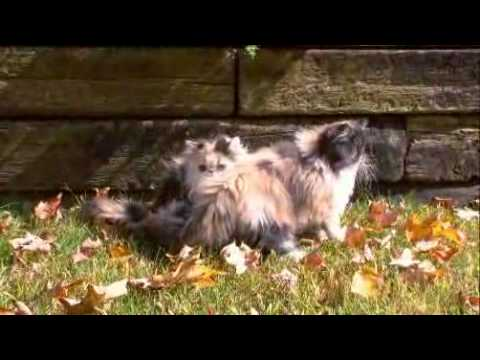 Animal Planet Cats 101 Persian Doll Face Chinchilla Silver and Golden