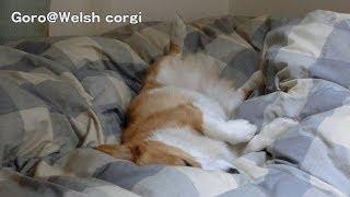 Goro Is Sleeping / お寝んねコーギー 20140115 Goro@welsh Corgi