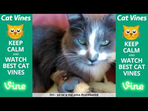 Funniest Cat Vines #111 - Updated September 12th, 2015