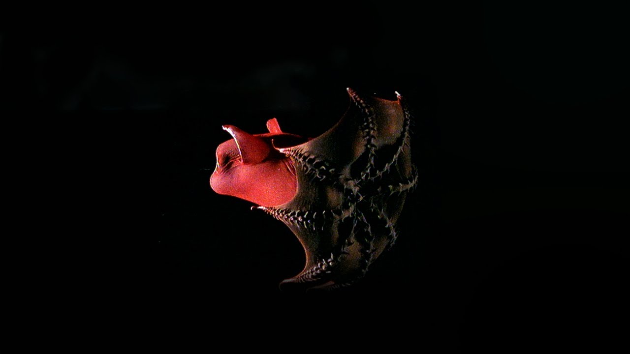 The Mysterious Vampire Squid - Curious Creatures