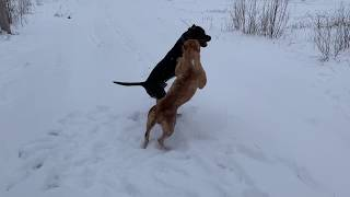 2 extremely RARE  pitbulls playing together In the snow! Does it go to far?