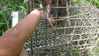 Bẫy Chuột đồng... 2 lồng 2 em... (Mouse trap)