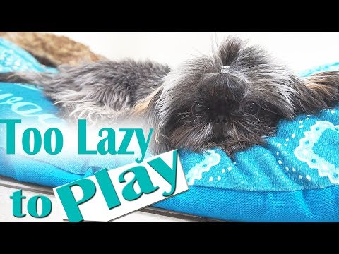 How to Exercise Your lazy Shih Tzu Puppy