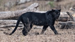5 Facts About Black Panthers
