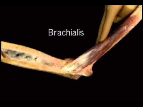 brachialis muscle