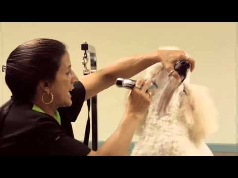 Grooming a Standard Poodle using a Wahl Figura Lithium Ion with Sue Zecco