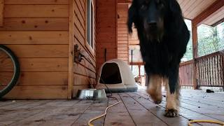 The morning routine begins with Hovawart leaving the doghouse, the ...