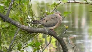 Mourning Dove, Turnbull National Wildlife Refuge, Cheney, Washington