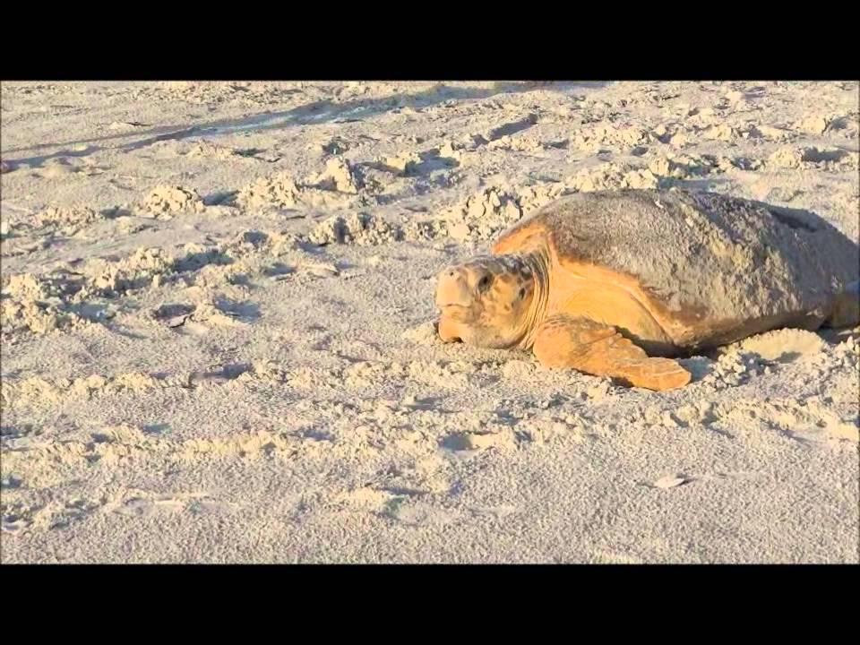 Sea Turtle Daytona Beach