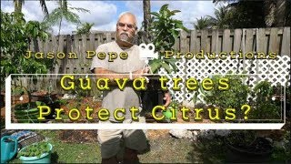 How to save your Citrus trees Citrus Greening Disease