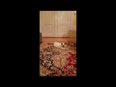 Funny Birman kitten making crazy parkour tricks!