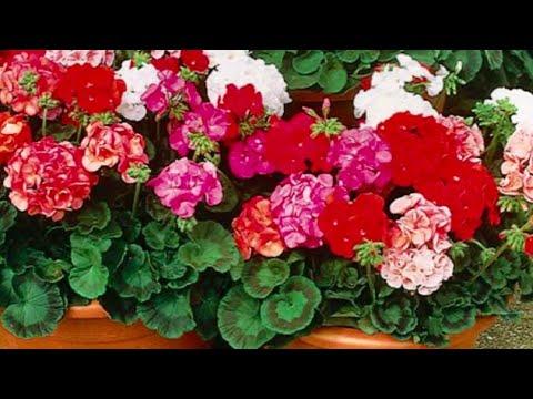 Герань будет радовать пышным цветением!ВОТ ПРОСТОЕ СРЕДСТВО !
