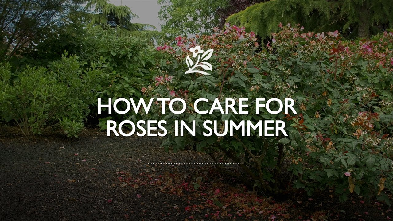 Roses In Garden: How To Care For Roses In The Summer