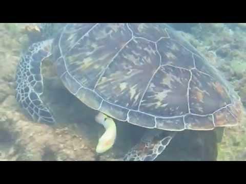 穴場の阿嘉ビーチによく来るウミガメ君
