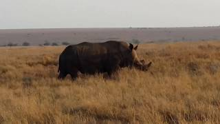 White Rhino not usual being  Solitary ,at Lewa conservancy ,