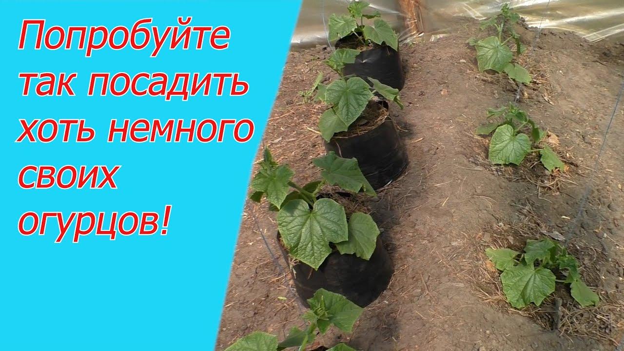 Три способа выращивания огурцов: об этом вам нигде больше не расскажут! -  YouTube
