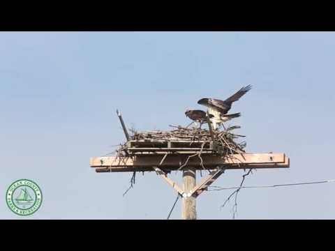 Osprey Feeding on the Barnegat Bay
