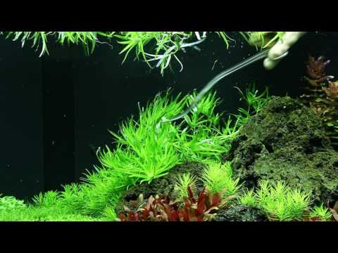Trimming of Heteranthera zosterifolia