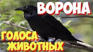 Голоса птиц и звуки животных. Звуки природы слушать онлайн ВОРОНА