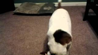 Dogs Wrestling Over A Shirt To Wtomts