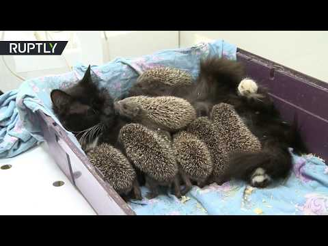 Fur & needles: Cat adopts orphaned baby hedgehogs