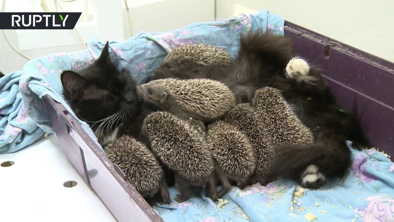 Newborn Babies And Cats Fur Needles Cat Adopts Orphaned Baby Hedgehogs Youtube