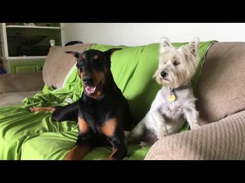 Doberman Vs. West Highland Terrier