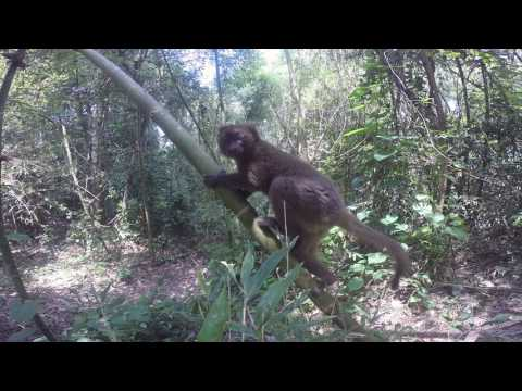 MBP's Greater Bamboo Lemur Monitoring Project