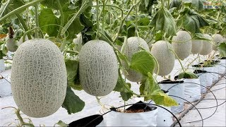 WOW! Amazing Agriculture Technology - Cantaloupe