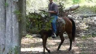 Noble - AQHA gelding Quarter Horse - American Quarter Horse Association