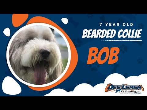 Bob, 7 year old Bearded Collie | E Collar Training | Obedience Training Upstate NY