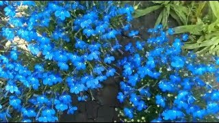 Лобелия!! Уход за растением во время цветения