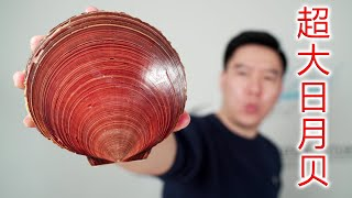 Super large Taiwanese sun and moon shells, bigger than slaps, making sashimi delicious