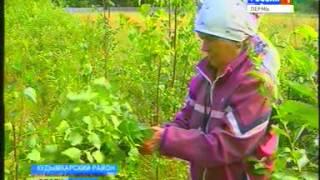 Как и когда заготавливать веники для бани: березовые, дубовые, липовые веники (видео)
