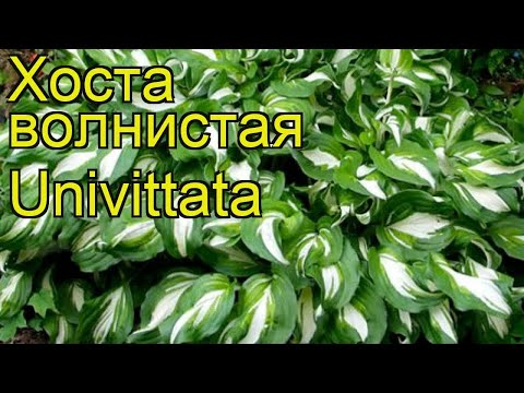 Хоста волнистая Унивитата. Краткий обзор, описание характеристик hosta undulata Univittata