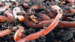Калифорнийские черви  Как я решил их разводить(Видеоблог по разведению калифорнийских червей с самого начала. На видео рассказываю о том, как я заинтересо..., 2015-07-21T23:13:00.000Z)