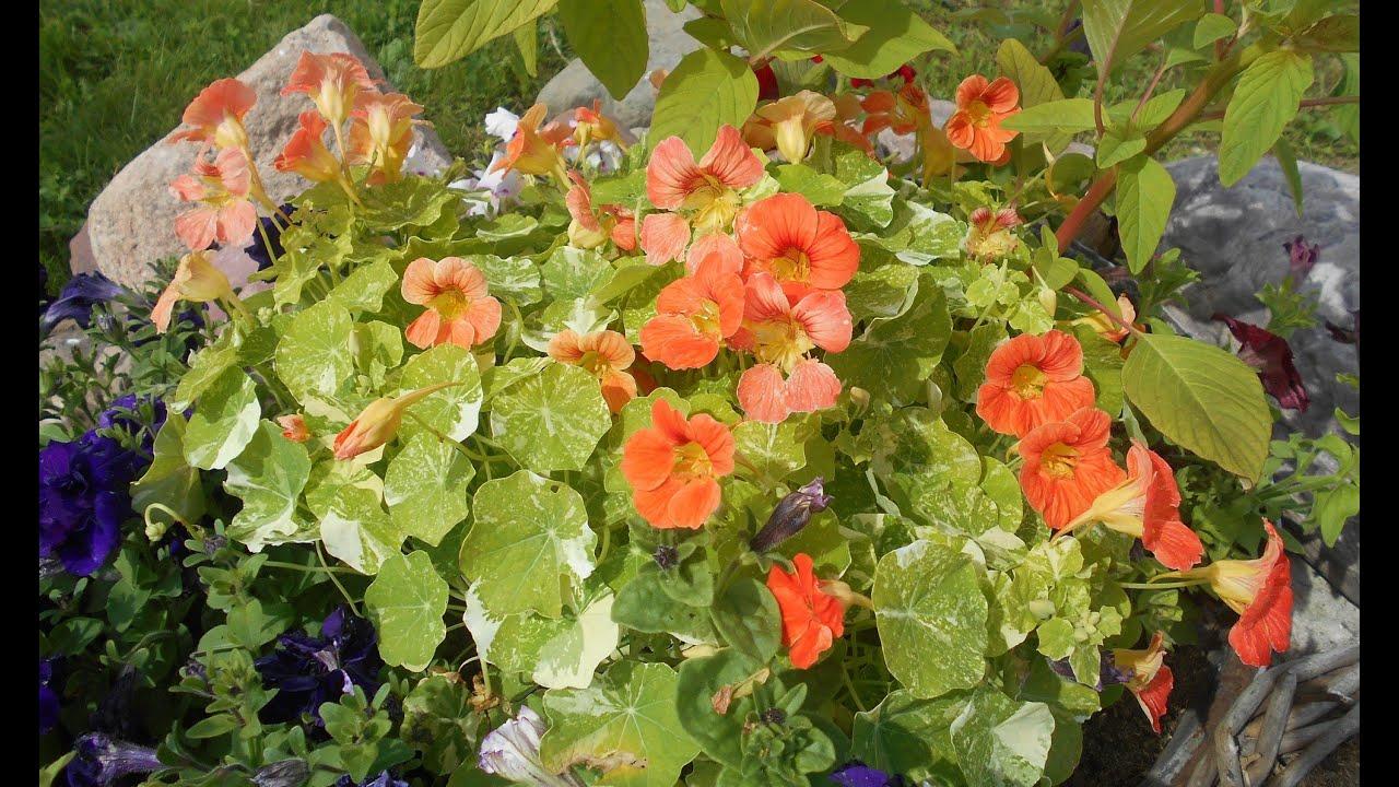 Настурция: выращивание и уход
