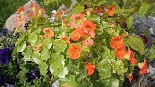 видео Цветы настурция: посадка и уход, размножение и болезни растения