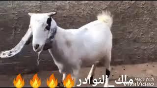 حتة محترمة كاسرة 6 خليط  بور في حجازي  وعشار سونار من دكر قبرصي   طنطا 01153553100 01273943511