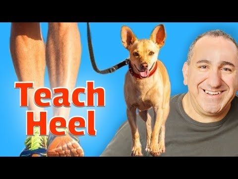 Teach your dog the heel command using play and praise system