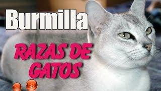 Raza de Gato Burmilla  Caracteristicas y Origen del Gato Burmilla