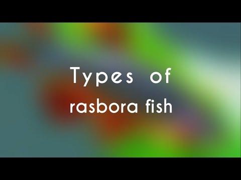 Types Of Rasbora Fish