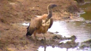 Дикая природа Африки Африканский гриф объелся падалью White-backed vulture after eating carrion