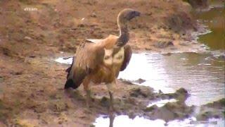 Африканский гриф объелся падали у водопоя в Африке White-backed vulture after eating carrion