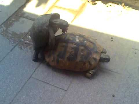 Accoppiamento tartarughe youtube for I gatti mangiano le tartarughe