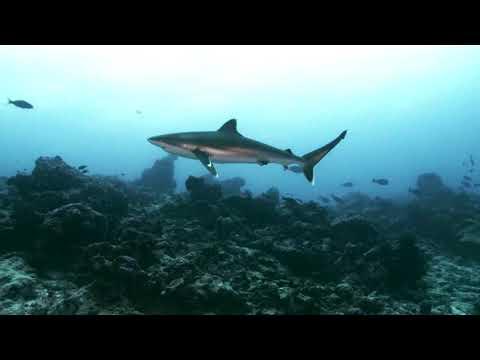 A la recherche du requin Baliais