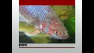 vuclip Penyakit Ikan Cupang; Gejala, Penyebab dan Pengobatannya