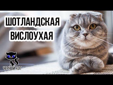 Как называется порода вислоухих кошек