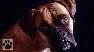 Породы собак - Боксер. [Boxer (Dog Breed)]