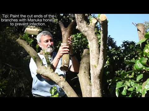 Pruning Citrus. Burke's Backyard How To